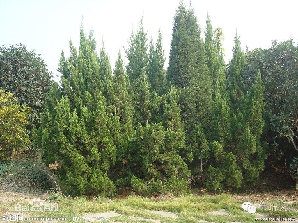 宝坵俗话:后畔山松柏树